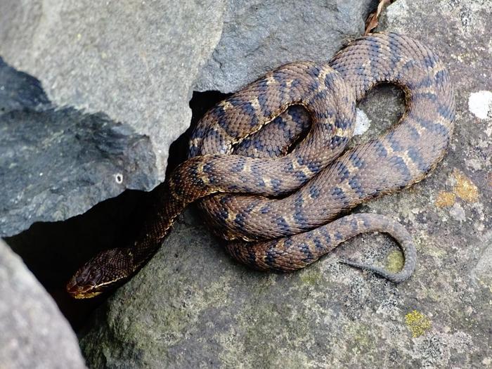 современной змея полоз фото в приморье его
