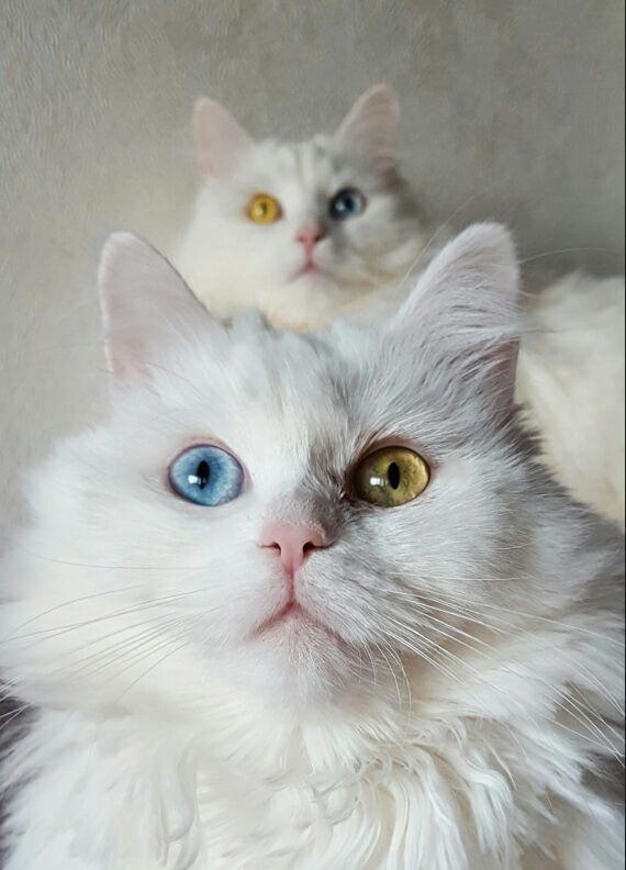 Дуэт кот, блондинка