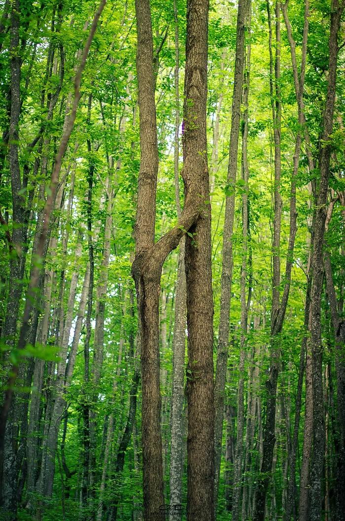 А Вы видели нечто подобное? Дерево, Нереально, Не может быть!, Природа