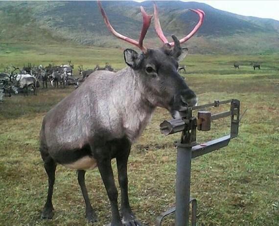Даже олени следят за весом Олень, Якутия, Весы