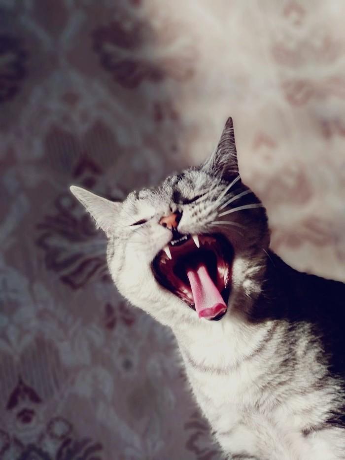 Алисия. Зевота, Зевота - заразна, Клыки, Домашние животные, Милота, Длиннопост