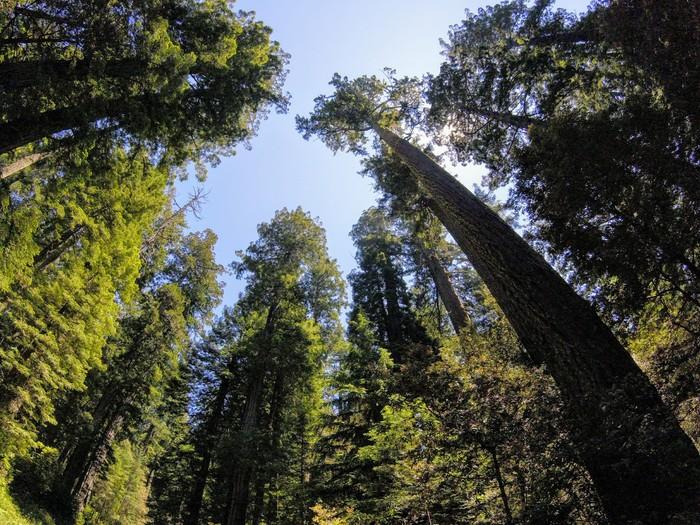 Секвойя vs. Редвуд. Взгляд снизу. Секвойя, Национальный парк, Дерево, Калифорния, Природа, Длиннопост