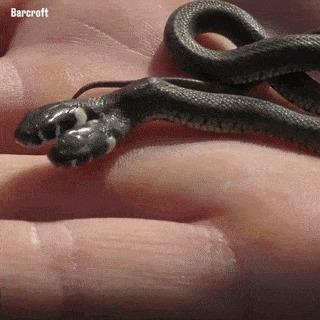 Двухголовая змея.