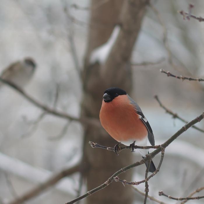 Снегири Снегири, Птицы, Фотография, Тверь, Длиннопост
