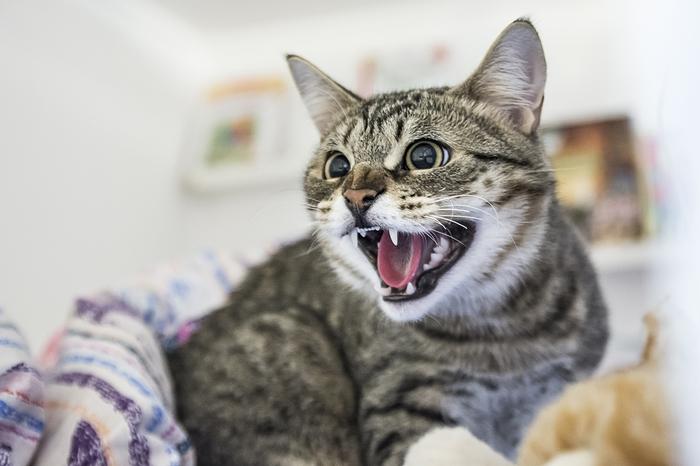 Шипенья яростного пост! Кот, Котомафия, Ярость, Шипение, Зверь, Животные, Длиннопост