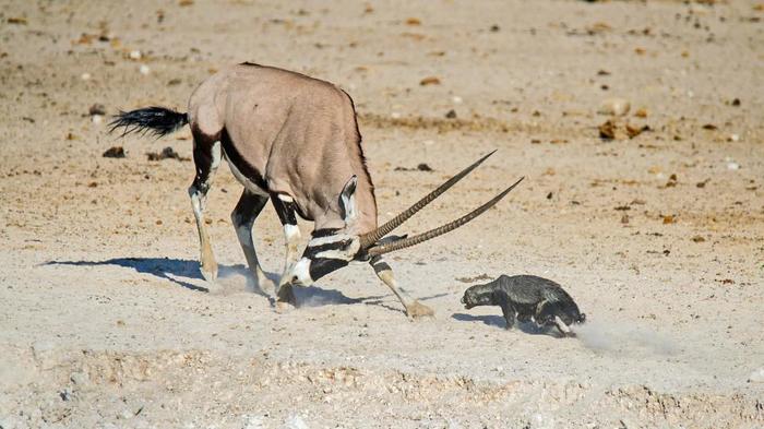 Пенис антилопы