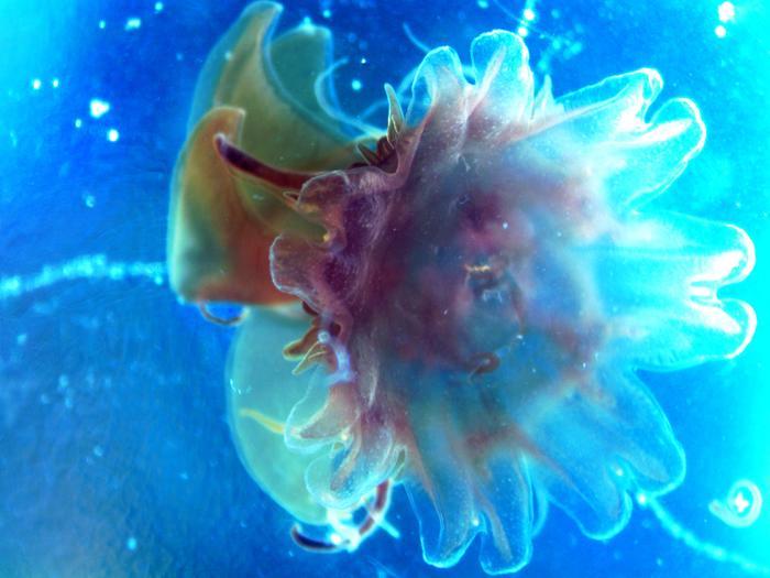 Крошка медуза Медуза, Цианея, Белое море