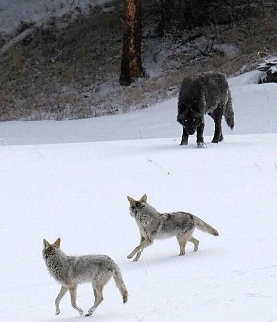 Размер волка по сравнению с койотами