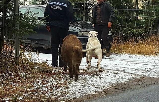 Кабан потребовал у полицейских вернуть ему его собаку животные, собака, кабан, Чехия, полиция