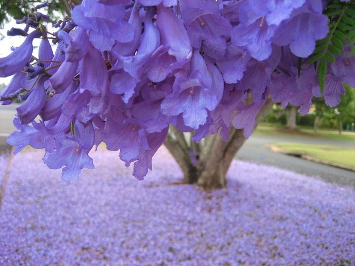 Фиолетовое дерево название можно выращивать дома