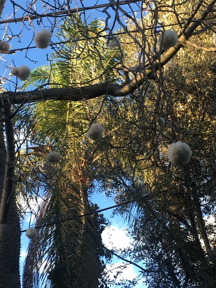 """""""Ватное"""" дерево. Первый раз за всю свою двадцатилетнюю жизнь в Израиле увидела такое. Кто то знает что это за дерево? Растения, Израиль, Чудо, Вата, Весна, Длиннопост"""