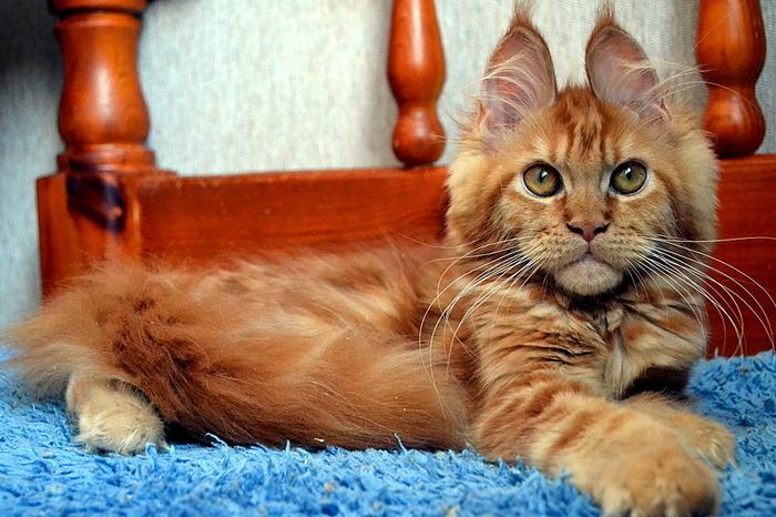 Вот это кошечка,еще котенок! А взгляд! Порода мейн кун. Кот, Мейн-Кун, Питомец, Длиннопост