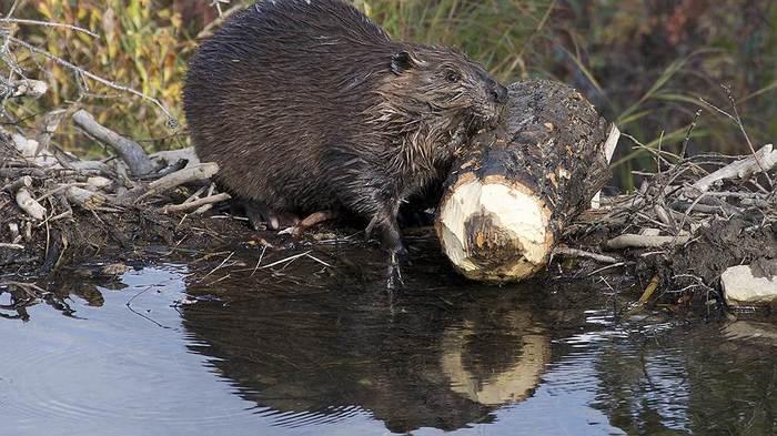 10 самых опасных биозахватчиков в России. Растительные и животные нарушители экологического равновесия. экосистема, природа России, интернет, длиннопост, видео