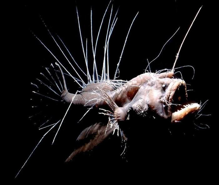 Заблуждения Рыба черт, Рыба-Удильщик, Глубоководные