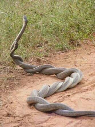 Так спариваются змеи
