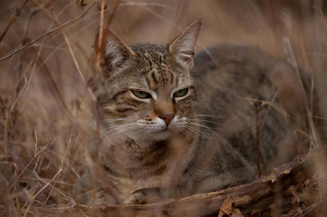 Происхождение домашних кошек Кот, Африканский степной кот, Генетика