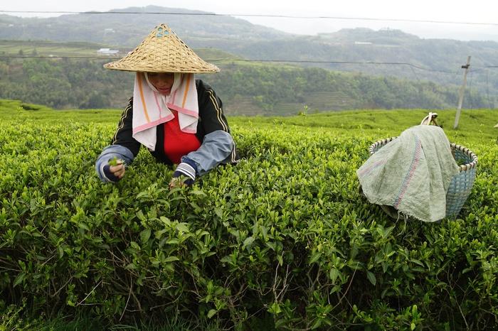 Как делают чай Чай, Китай, Китайский чай, Поднебесная, Длиннопост, Плантации, КакЭтоСделано