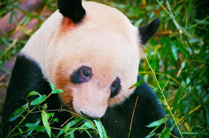 Застенчивая панда)