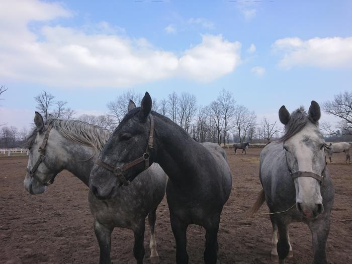 Кони в яблоках... Чехия, Кони, Лошадь, Длиннопост