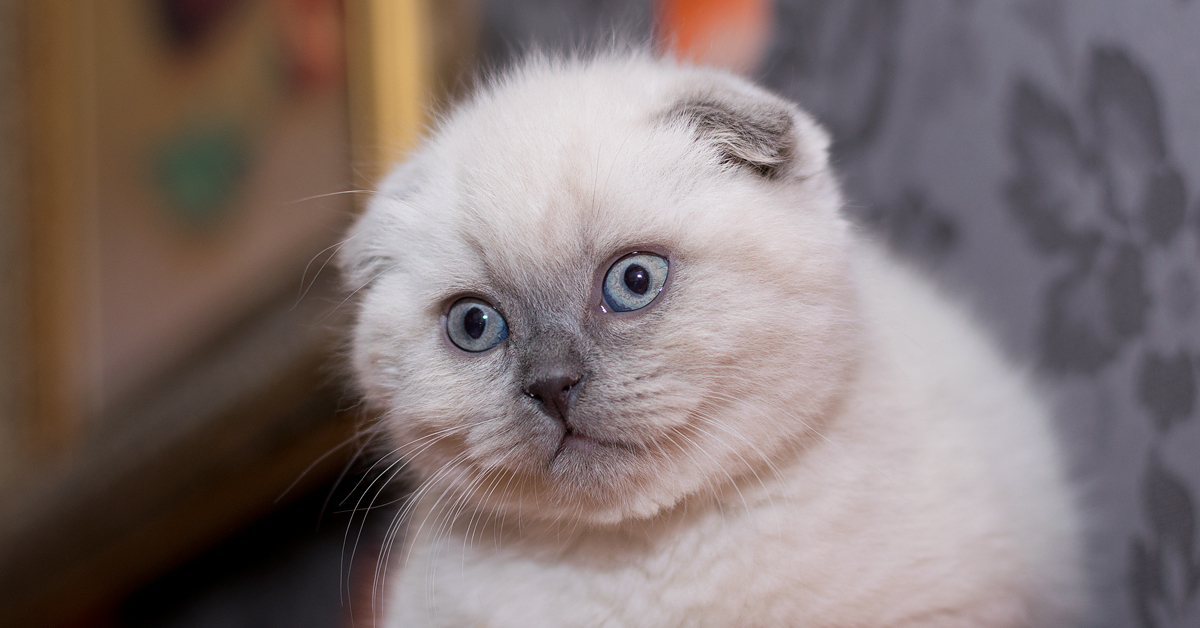 фото фолдов котят вполне