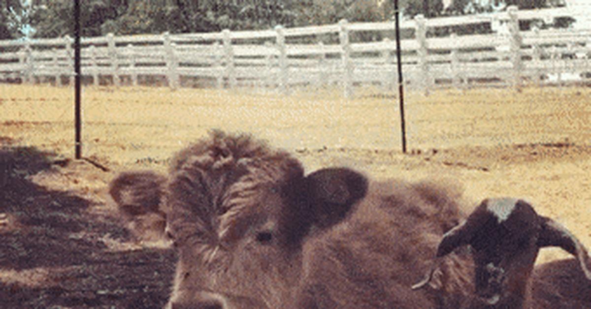 Чернобыльская корова гифка, картинки