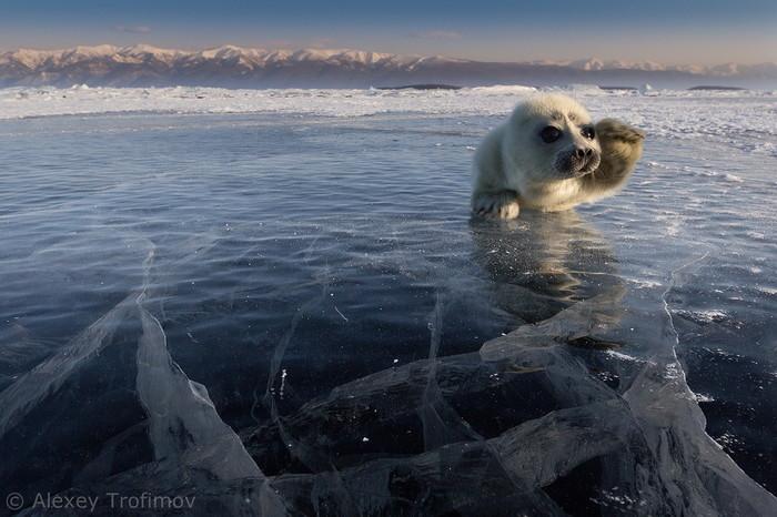 Снова Байкал: черный день для байкальской нерпы Байкал, Нерпа, Промысел, Браконьеры, Петиция, Важно, Длиннопост, Негатив