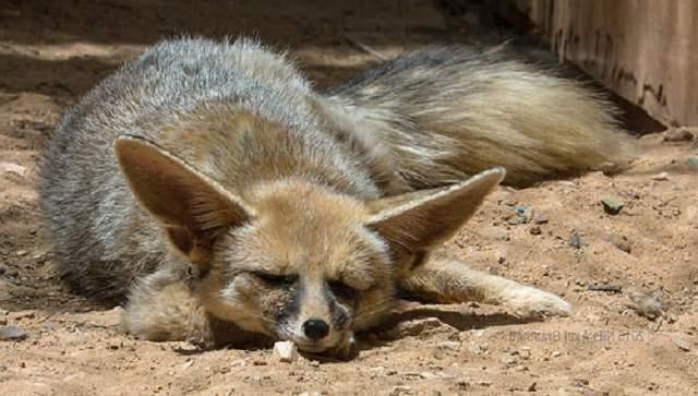 Жывотные на букву: А - Афганская лисица Животные, Лиса, Дикая природа, Афганская лисица, Длиннопост