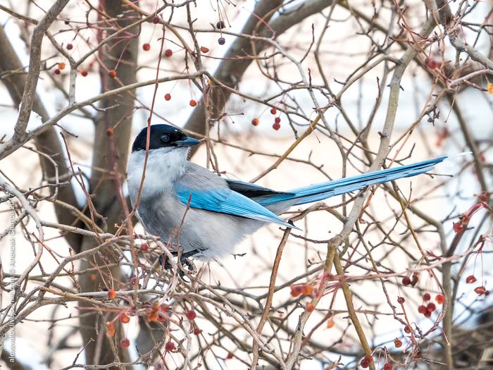 Птица счастья Птицы, Сорока, Голубая сорока, Длиннопост