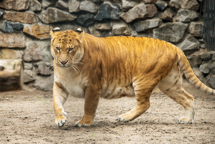 male lion weight - 680×510