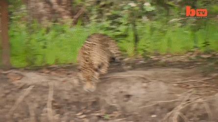 Крокодил - не самый страшный зверь в лесу Ягуар, Кайман, Крокодил, Охота, Животные, Гифка