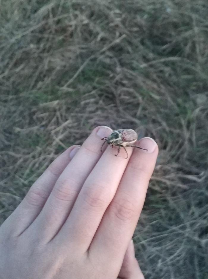 ПервоМАЙСКИЙ жук! Майский жук, 1 мая, Рязанская область, Mi6
