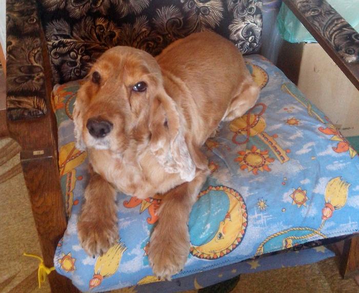 Собака из собаки: попытка №2 Собака, Кокер-Спаниель, Стрижка