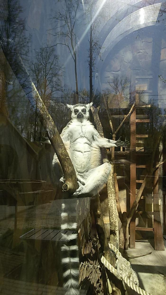 Решили посетить зоопарк, а там лемур ушел в нирвану Лемур, Зоопарк, Фотография, Нирвана, Длиннопост
