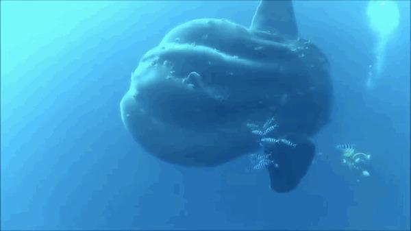 Аквалангисты плавают с рыбой-луной Рыба, Рыба-луна, морские обитатели, гифка