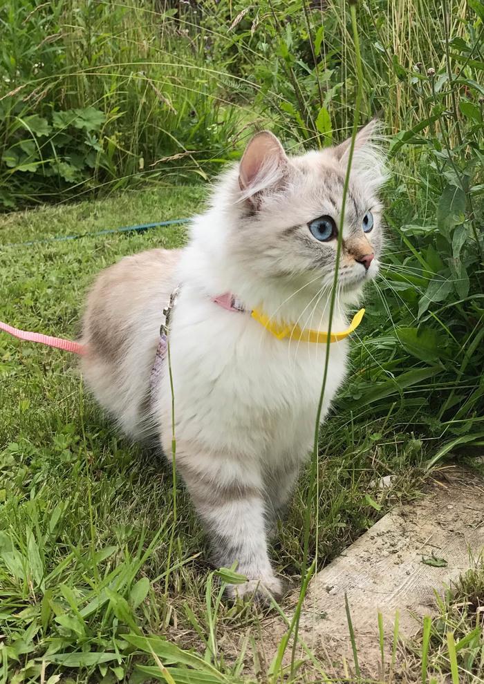 Кошка гуляет первый раз. Моё, Милота, Невская маскарадная, Длиннопост, Кот