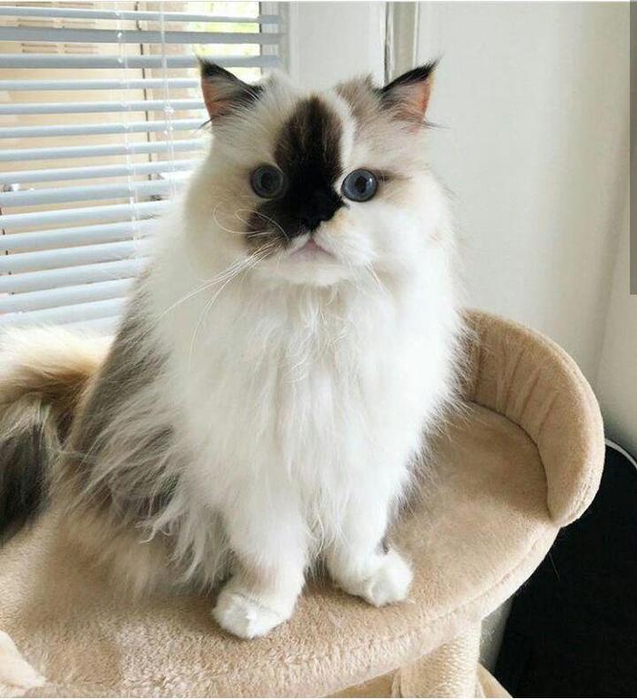Интересный окрас Кот, Интересный окрас, Пушистый, Мех, Длиннопост