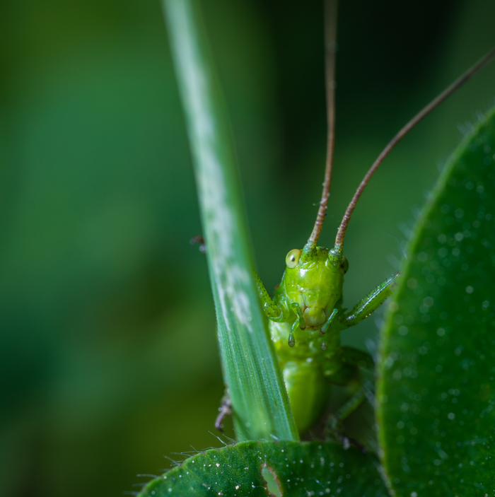 Личинка кузнечика