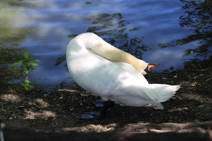 Йога от лебедя-шипуна. Пензенский зоопарк, Лебеди, Шипун, Шея, Длиннопост