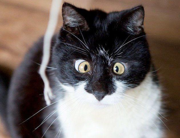Косоглазый кот по кличке Оззи. Кот, Косоглазие, Шотландская семья, Оззи Осборн