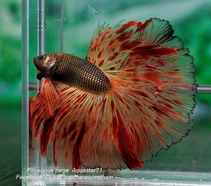 Редкие цвета у петушков betta splendens Рыба, Петушки, Аквариум, Длиннопост, Аквариумные рыбки, Красивое, Фотография