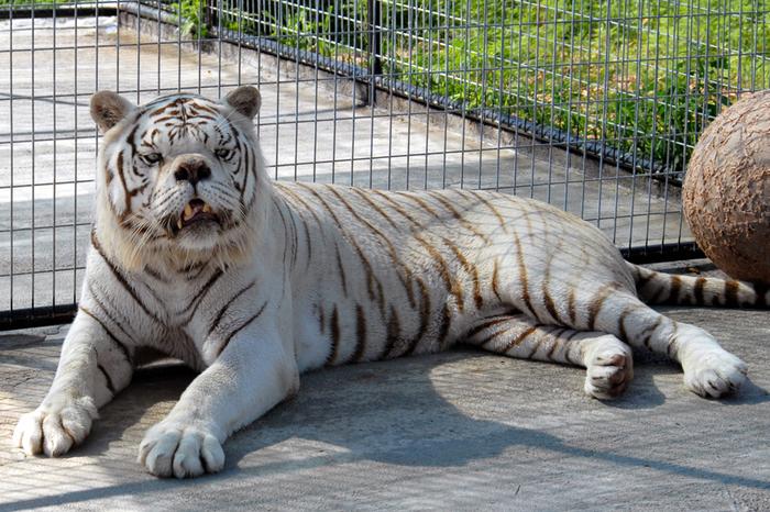 Я и мой брат дебил Всё как у зверей, Белый тигр, Тигр, Генетика, Селекция, Зоопарк, Мутация, Длиннопост