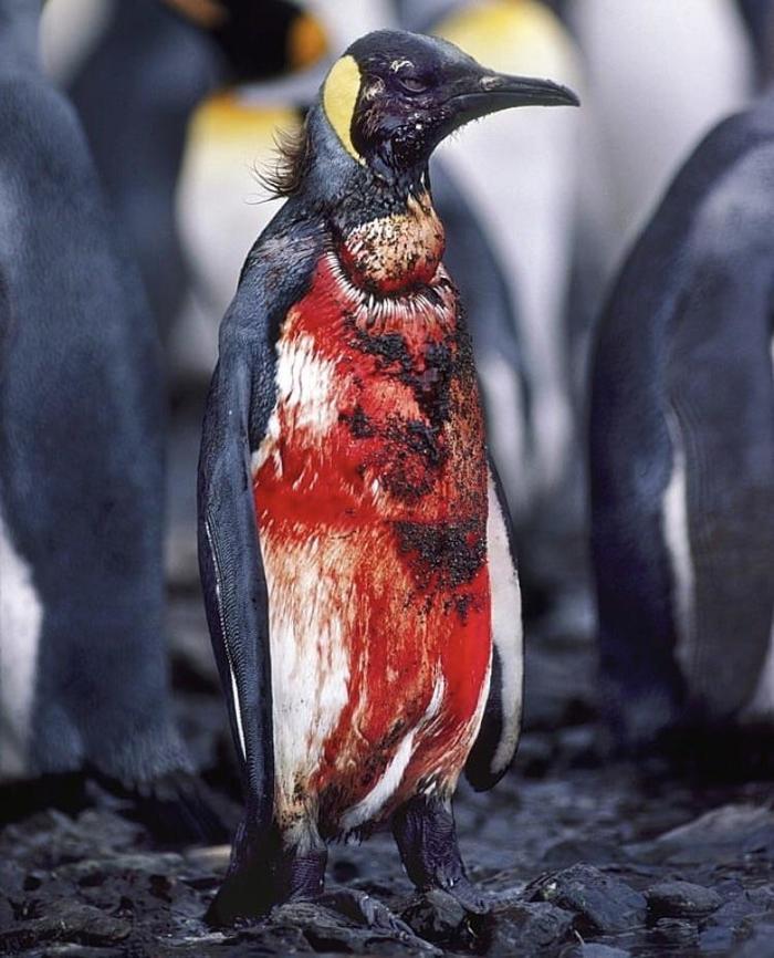 Кровавый пингвин