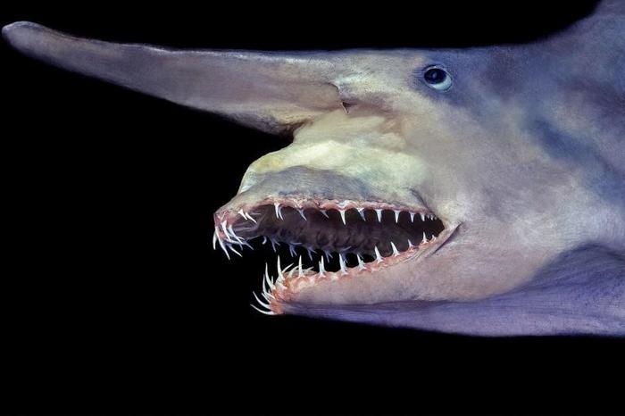 Скапаноринх (акула-гоблин)