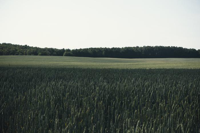 Одна сплошная зелень Поле, Природа, Калининград, Начинающий фотограф, Пшеница, Лето