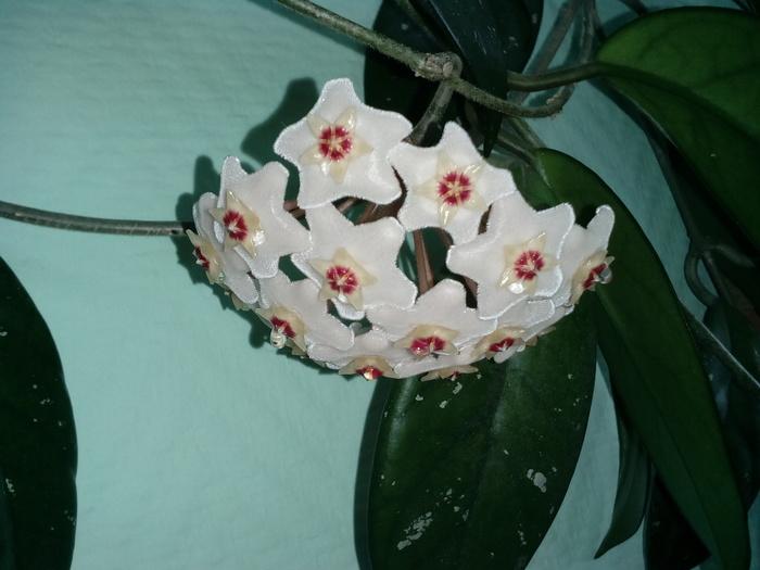 Цвет растения Цвет, Хойя, Восковый плющ, Цветы, Комнатные растения