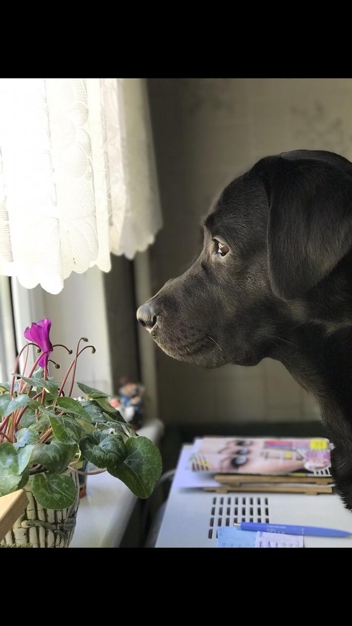 Наверное только заведя собаку, начинаешь понимать их преданность Собака, лабрадор, друг