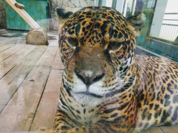 Большая киса очень близко кот, котомафия, зоопарк, суровость, длиннопост