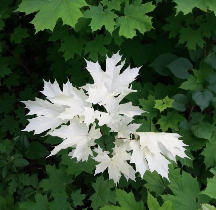 Седой альбинизм, лес