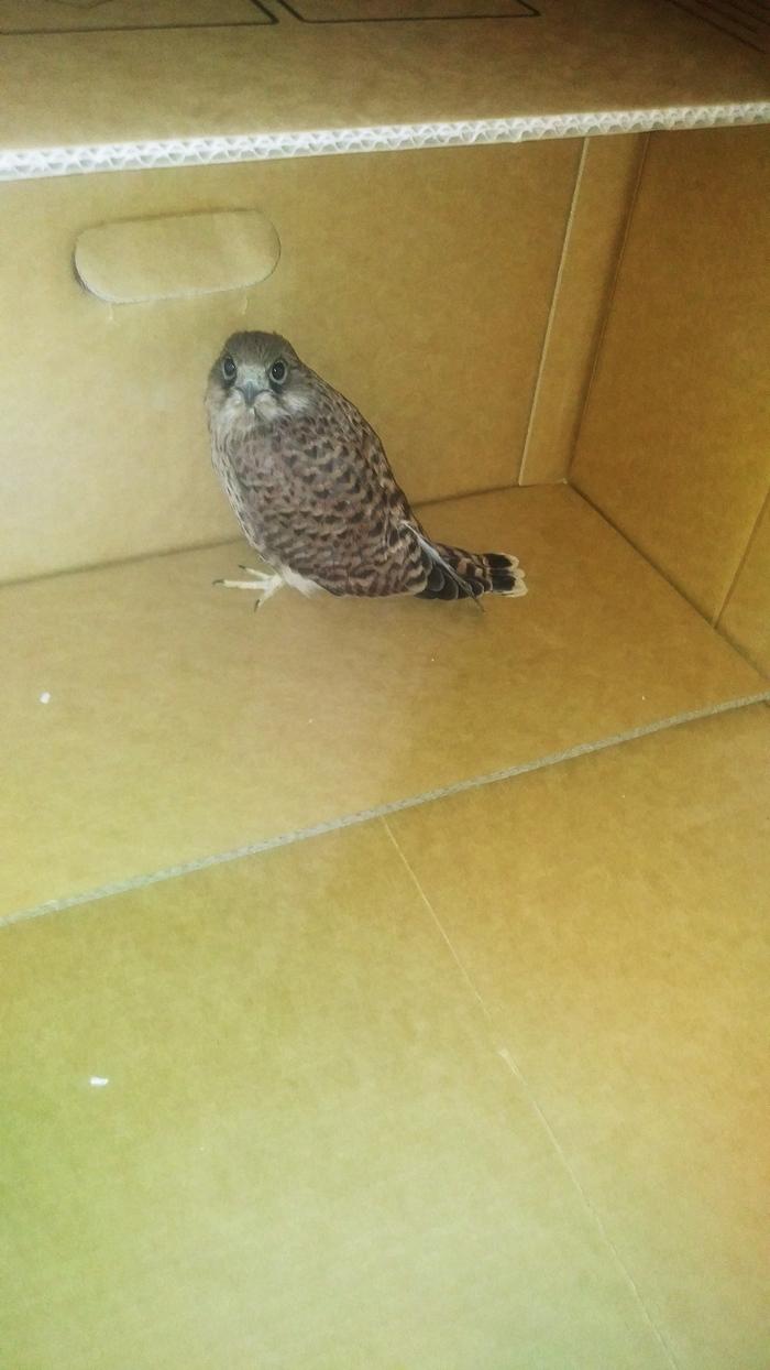 Помогите пожалуйста! Лига Орнитологов, Помощь животным, Длиннопост, Птицы, Ястреб, Без рейтинга