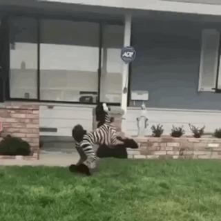 Странные нынче зебры пошли!